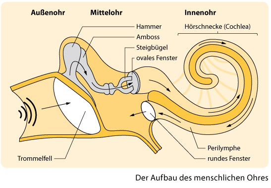 Der Aufbau des menschlichen Ohrs